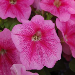 Mambo GP Rose Veined Petunia