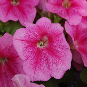 Mambo GP Rose Veined Petunia