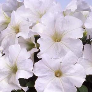 Mambo GP White Petunia