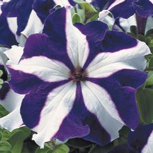 Tritunia Blue Star Petunia