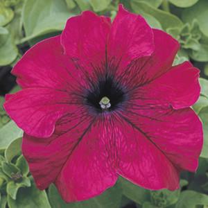 Tritunia Burgundy Petunia