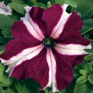 Tritunia Crimson Star Petunia