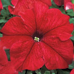 Tritunia Red Petunia