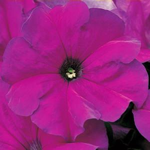 Tritunia Violet Petunia