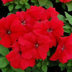 Limbo GP Red Petunia