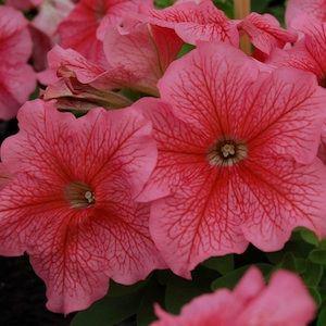 Limbo GP Red Veined Petunia