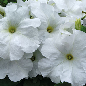 Limbo GP White Petunia