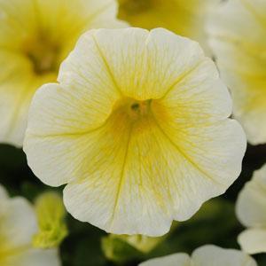 Shock Wave ® Yellow Trailing Petunia
