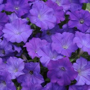 Shock Wave® Denim Trailing Petunia