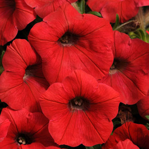 Shock Wave® Red Trailing Petunia