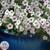 Tidal Wave® Silver Trailing Petunia