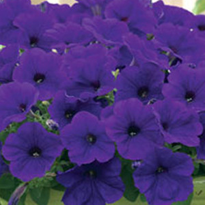 Trilogy Blue Trailing Petunia