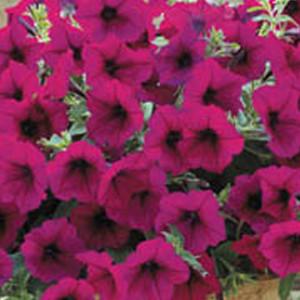 Trilogy Purple Trailing Petunia