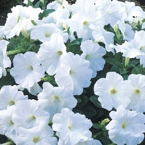Trilogy White Trailing Petunia