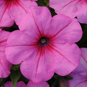 Easy Wave ® Pink Passion Trailing Petunia