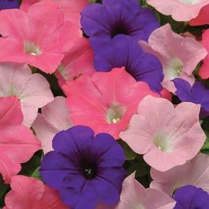 Easy Wave ® Beachcomber Mix Trailing Petunia