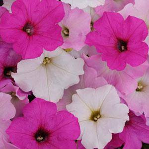 Easy Wave ® Sweet Tart Mix Trailing Petunia