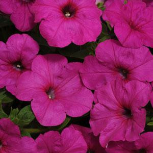 Easy Wave ® Neon Rose Trailing Petunia