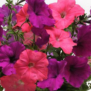 Easy Wave Opposites Attract Mix Trailing Petunia