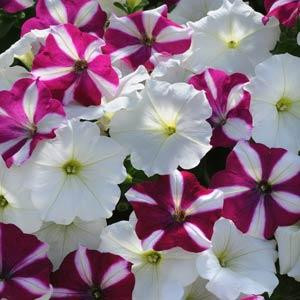 Easy Wave ® Starfish Mix Trailing Petunia