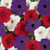 Easy Wave ® The Flag Mix Trailing Petunia