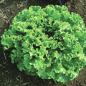 Organic Lettuce Seeds, Green Star