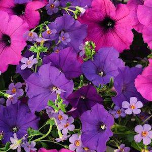 Fuseables Healing Waters Petunia / Bacopa