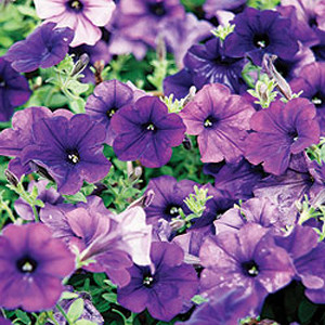 Easy Wave Blue Trailing Petunia Seeds 2bseeds