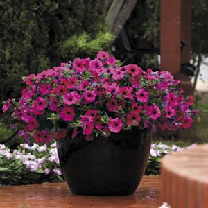 Wave ® Purple Improved Trailing Petunia