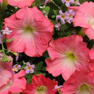 Fuseables Blue Dawn Petunia / Bacopa