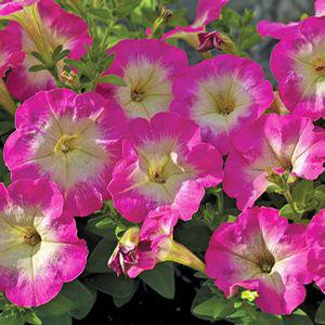 Picobella ™Rose Morn Petunia