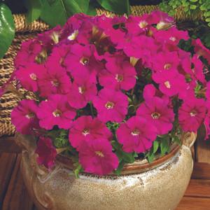 Picobella™Carmine Petunia