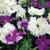 Dianthus Diana Lavendina