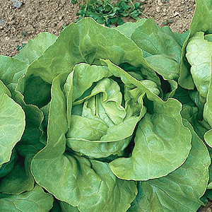 Organic Lettuce Seeds, Butterhead Nancy