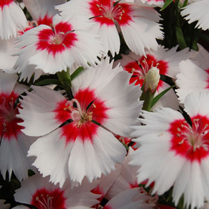 Dianthus Diana Red Centered White