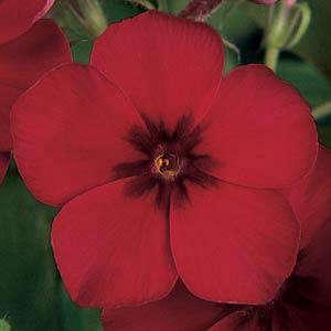 Crimson Phlox