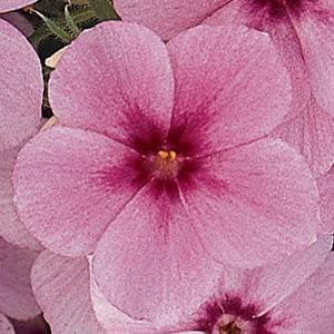 21st Century Rose Star Phlox