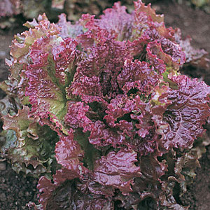Organic Lettuce Seeds, New Red Fire