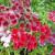 Petticoat Stars Mix Phlox