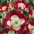 Danish Flag -Breadseed Poppy