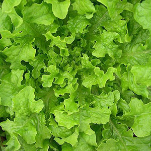 Organic Lettuce Seeds, Saladbowl Oak Leaf