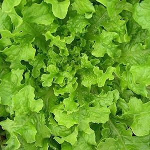 Organic Lettuce Seeds, Saladbowl Oak Leaf
