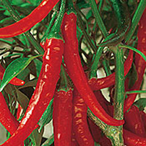 Organic Chili Pepper Seeds, Cayenne Ring of Fire