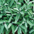 Organic Sage Herb Common