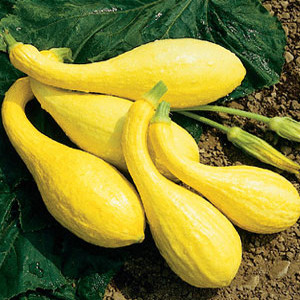 Organic Summer Squash Seeds, Yellow Crookneck