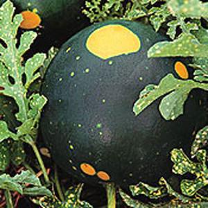 Organic Watermelon Seeds, Moon and Stars