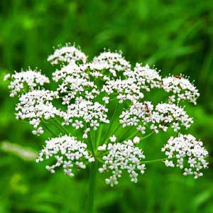 HERB ANISE