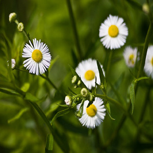 HERB CHAMOMILE GERMAN