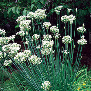 HERB CHIVES GARLIC