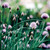 HERB CHIVES ONION